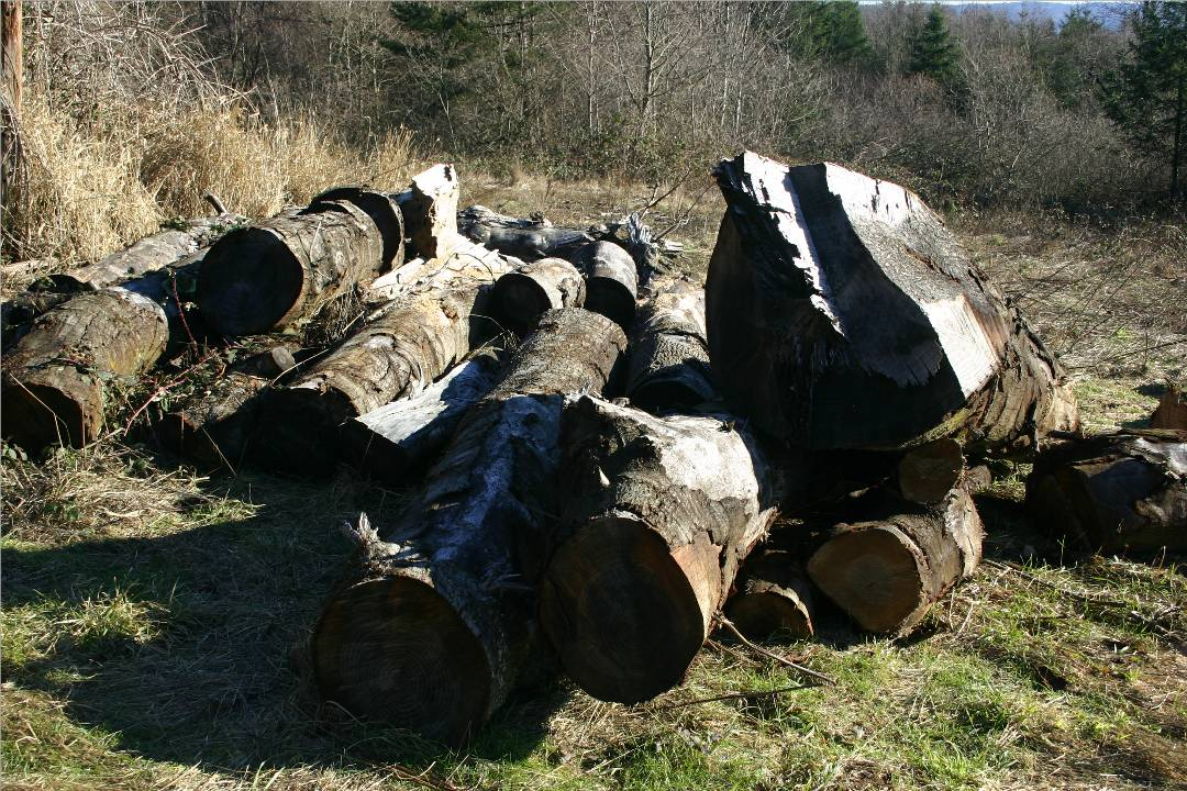There are about 5 good oak logs in this pile. Some are a little over 2 feet in diameter.